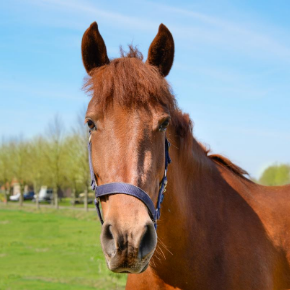 Headshaking in horses; causes, diagnosis and treatment.